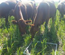 Picture Grazing cows during forage sampling.